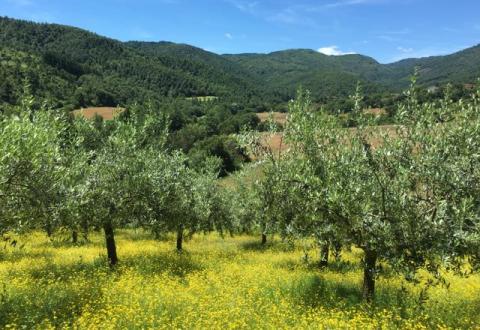 Belvedere olive grove in spring
